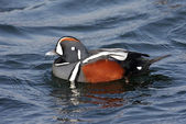 Harlequin Duck — Stock Photo