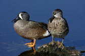 Pair of Blue-winged Teal — Stock Photo
