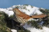Brown Thrasher In Winter — Stock Photo