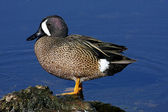 Blue-winged Teal — Stock Photo