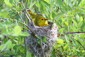 Yellow Warbler In A Nest — Stock Photo