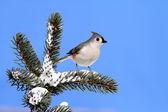 Ladin ağacı ile kar üzerinde kuş — Stok fotoğraf