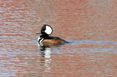 Male Hooded Merganser — Stock Photo