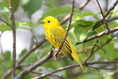 Yellow Warbler (Dendroica petechia) — Stock Photo