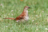 Brown Thrasher (Toxostoma rufum) — Stock Photo