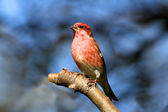 Purple Finch (Carpodacus purpureus) — Stock Photo
