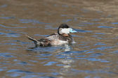Ruddy Duck (Oxyura jamaicensis) — Stock Photo