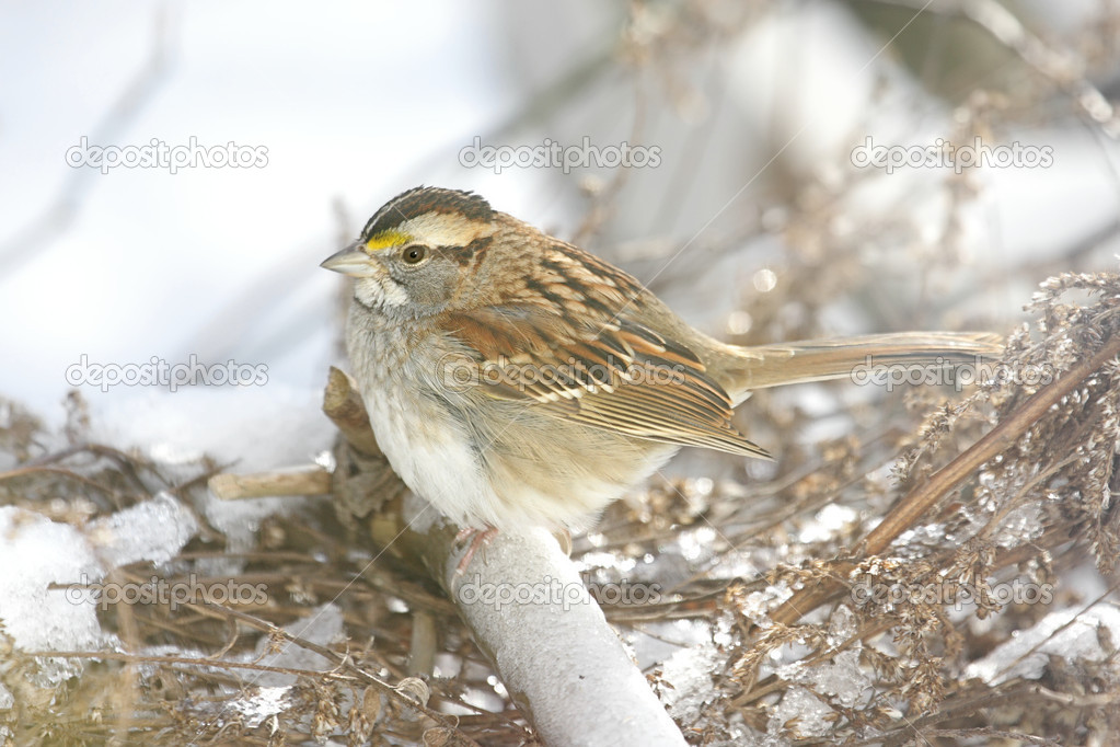 White-throated Sparrow (zonotrichia albicollis) perched on a snow covered bush — Stock Photo #7914509