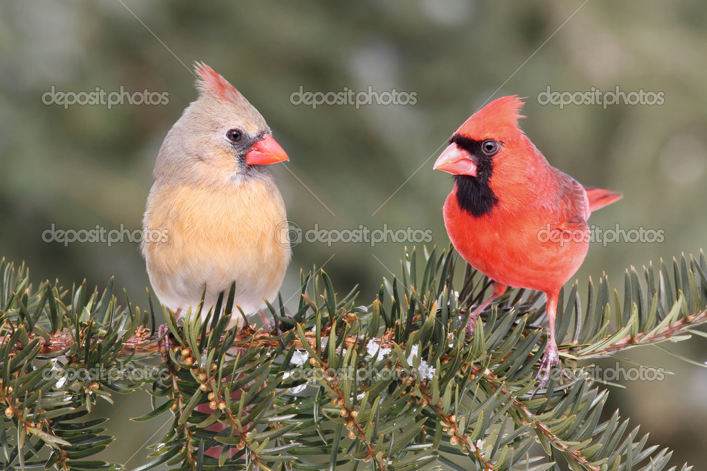Pair of Northern Cardinals (cardinalis) on a branch with some snow and a green background — Stock Photo #7916129