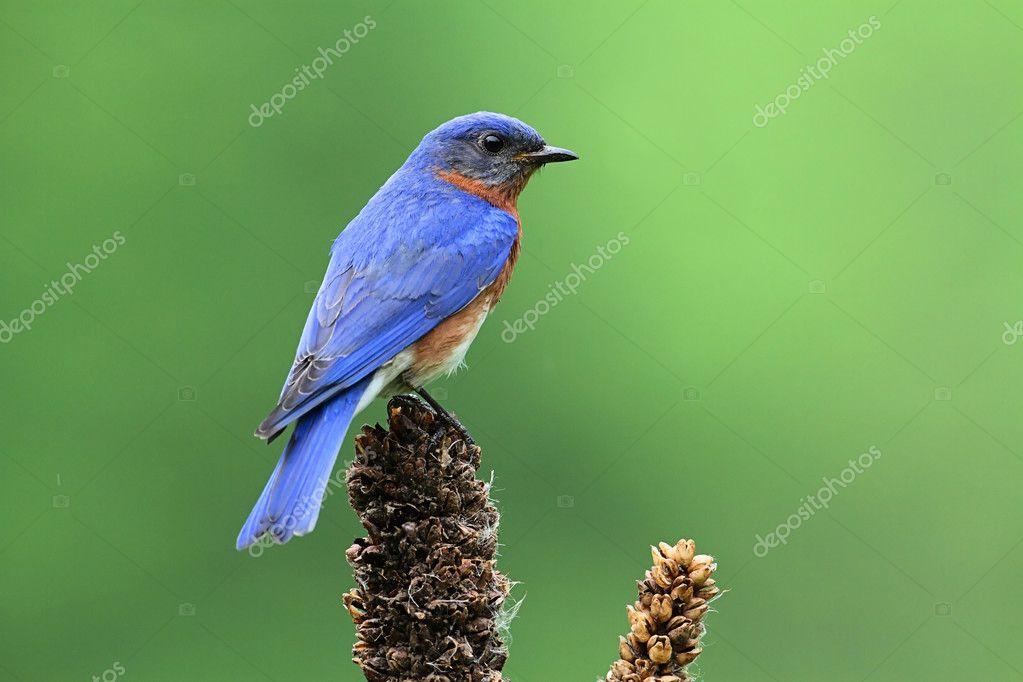синяя птица сиалис