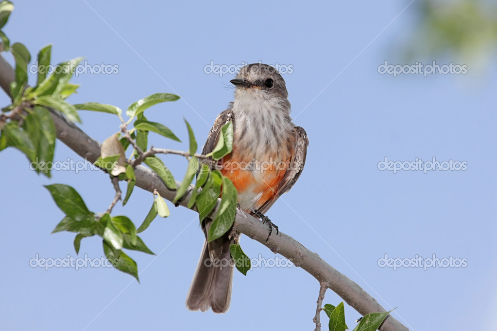Immature male Vermilion Flycatcher (Pyrocephalus rubinus) on a perch with a blue sky background  Stock Photo #7918977