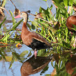 Black-bellied Whistling-ducks - Stockfoto
