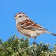 Royalty-Free Stock Photo: American Tree Sparrow