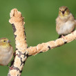 American Goldfinches (Carduelis tristis) — Stock Photo #7920388