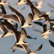 Flock of Black Skimmers in flight — Stock Photo