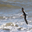 Stock Photo: Black Skimmer (Rynchops niger)
