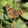 Stock Photo: Common Buckeye Butterfly