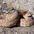 Western Diamondback Rattlesnake (Crotalus atrox) - Stock Photo