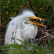 Baby Great Egret (Ardea alba) - Stock Photo