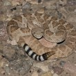 Western Diamondback Rattlesnake (Crotalus atrox) — Stock Photo #7921995