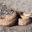 Western Diamondback Rattlesnake (Crotalus atrox) — Stock Photo #7922045