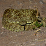 Mojave Rattlesnake - Crotalus scutulatus — Stock Photo