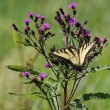 Stock Photo: Tiger Swallowtail Butterfly (papilio glaucas)