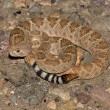Western Diamondback Rattlesnake (Crotalus atrox) — Photo #7922200