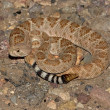 Stock Photo: Western Diamondback Rattlesnake (Crotalus atrox)