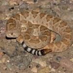 Western Diamondback Rattlesnake (Crotalus atrox) — Stock Photo