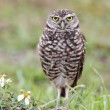 Stock Photo: Burrowing Owl (athene cunicularia)