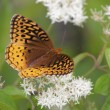 Great Spangled Fritillary (Speyericybele) — Stock Photo #7922415