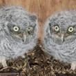 Eastern Screech-Owl Chicks — Stock Photo
