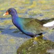 Purple Gallinule (Porphyrio martinica) — Stock Photo #7922973