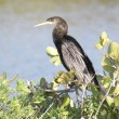 Royalty-Free Stock Photo: Anhinga On A Perch