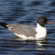Stock Photo: Laughing Gull By Ocean