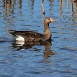 Greater White-fronted Goose (Anser albifrons) - Stock Photo