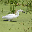 Snowy Egret (Egretta thula) — Stock Photo
