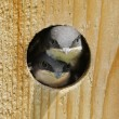 Stock Photo: Baby Birds In Bird House