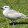 Stock Photo: Glaucous-winged Gull (Larus glaucescens)
