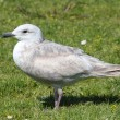 Glaucous-winged Gull (Larus glaucescens) — Stock Photo