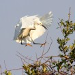 Stock Photo: Snowy Egret (Egrettthula)