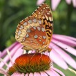 Great Spangled Fritillary Butterfly — Stock Photo #7925041
