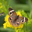Stock Photo: Common Buckeye Butterfly And Bee