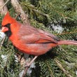 Cardinal On A Perch in Snow — Stock Photo