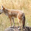 Stock Photo: Western Coyote Howling