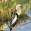 Stock Photo: Anhinga On A Perch