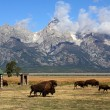 Royalty-Free Stock Photo: Bison Herd in the Grand Tetons
