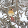 Northern Cardinal In Snow — Stock Photo