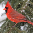 Cardinal In A Snow Storm — Stock Photo #7926058